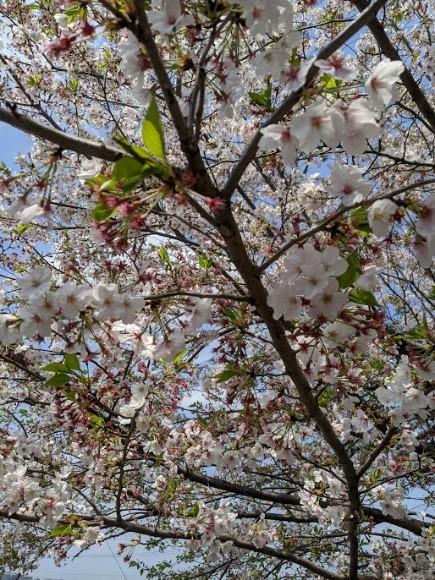 今年2月20日、気づいたらもう葉桜でした。